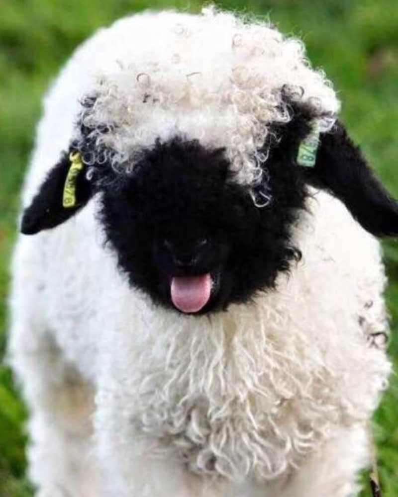 Baby Valais Blacknose Sheep