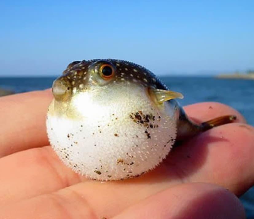 Baby Puffer Fish
