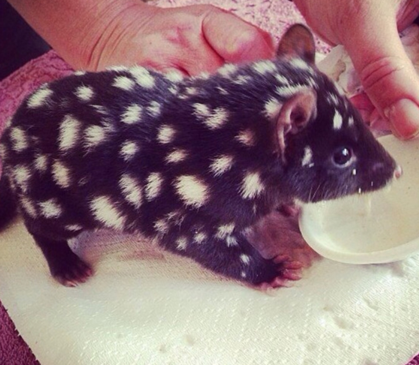Baby Eastern Quoll
