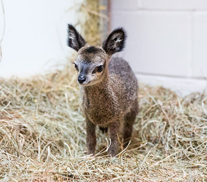 Baby Clipspringer