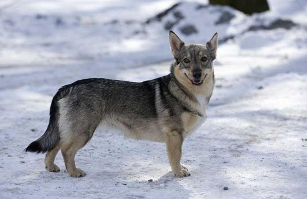 Swedish Vallhund Corgi Mix